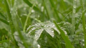Zielona trawa w rosie zdjęcie wideo