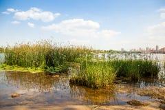 Zielona trawa w rzece Obrazy Royalty Free