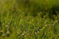 Zielona trawa w wod kroplach dla tła obrazy royalty free