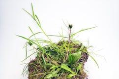 Zielona trawa z brudem zdjęcie stock