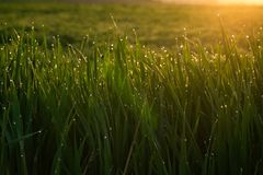 Zielona trawa z kroplami rosa przy wsch?d s?o?ca w wio?nie w ?wiat?a s?onecznego t?a pi?knie natury obudzenia ro?linno?ci poj?cie zdjęcie stock