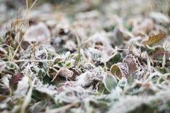 Zielona trawa z ranku mrozem Obraz Royalty Free