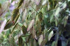 Zielona trawa z spikelets na łące Zdjęcia Royalty Free