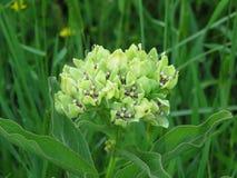 Zielona trojeść lub zieleni antelopehorn kwiat z trawą w tle Obrazy Royalty Free