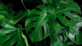 Zielona tropikalna liścia Monstera ornamentacyjnej rośliny dżungla wiecznozielona obraz stock