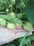 Zielona truskawka na palmowej, białej truskawce, Obrazy Royalty Free