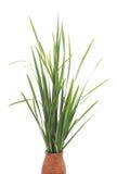 Zielona trzcina Zdjęcie Royalty Free