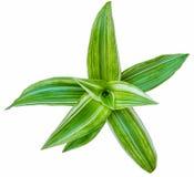 Zielona ulistnienie roślina na białym tle Zdjęcia Stock