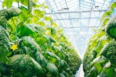 Zielona uprawa w nowożytnej szklarni Zdjęcia Royalty Free
