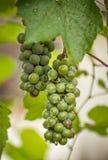 Zielona wiązka winogrono w ogródzie fotografia stock