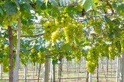 Zielona wiązka winogrona w winnicy fotografia royalty free