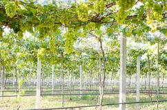 Zielona wiązka winogrona w winnicy obraz royalty free
