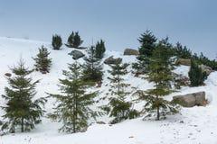 Zielona świerczyna na górze Zima co rano Obrazy Stock