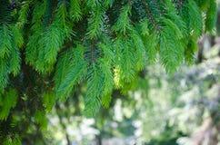 Zielona Świerkowa gałąź Zdjęcia Royalty Free