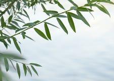 Zielona wierzby gałąź Zdjęcie Royalty Free