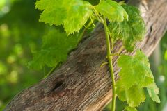 Zielona winorośl opuszcza na starej drzewnej barkentynie na zamazanym greenery tła tle zdjęcia royalty free