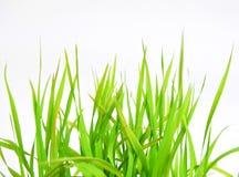 Zielona wiosny trawa odizolowywająca na białym tle Zdjęcie Royalty Free