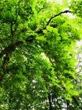 Zielonawy drzewny baldachim obraz stock