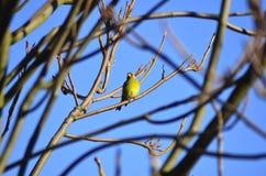 Zielonawy ptak na gałąź obrazy stock