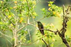 Zielonawy puffleg obsiadanie na gałąź, hummingbird od tropikalnego lasu, Kolumbia, ptasi tyczenie, malutki ptasi odpoczywać w tro fotografia stock