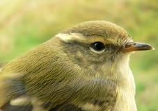 zielonawy warbler fotografia stock