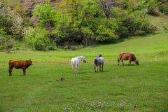 Zielone łąki, konie, krowy, cakle zdjęcie royalty free