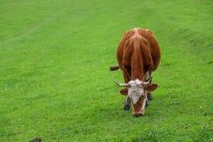Zielone łąki, konie, krowy, cakle obraz stock