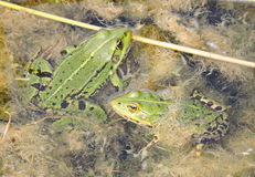 Zielone żaby w bagnie obraz royalty free