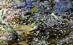 Zielone żaby na stawie Zdjęcia Royalty Free
