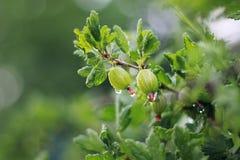 Zielone agrestowe jagody w lecie uprawiają ogródek po deszczu fotografia stock