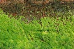 Zielone algi na betonowej ścianie obrazy stock