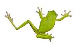 Zielone Australijskie drzewne żaby Obrazy Royalty Free