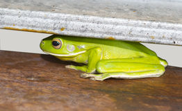 Zielone Australijskie drzewne żaby Obraz Royalty Free