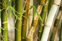 zielone bambus rośliny Obrazy Stock