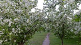 Zielone białe gałąź kwitną jabłoni nad ścieżka sposobu wiosna zbiory wideo