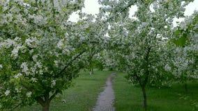 Zielone białe gałąź kwitną jabłoni nad ścieżka sposobu wiosna zdjęcie wideo