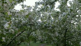 Zielone białe gałąź okwitnięcie jabłoń nad ścieżka sposobu wiosna zdjęcie wideo