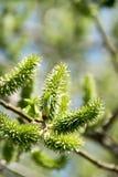 Zielone brzoz bazie i zdjęcie stock