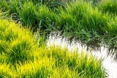zielone bujny trawy obrazy stock