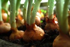 zielone cebule Zdjęcia Royalty Free