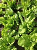 Zielone cykoriowe rośliny Fotografia Royalty Free