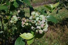 Zielone czarne jagody Fotografia Stock