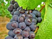 zielone czerwonego wina winogrona Zdjęcie Royalty Free