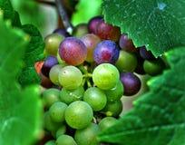 zielone czerwonego wina winogrona Zdjęcia Royalty Free