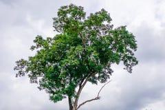 zielone drzewa Obrazy Royalty Free
