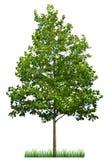 zielone drzewa Zdjęcia Stock