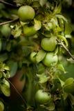 - zielone drzewa jabłko zdjęcie stock