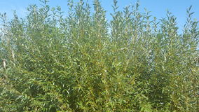 zielone drzewa małe drzewa błękitne niebo Obrazy Royalty Free