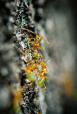 Zielone Drzewne mrówki Obraz Royalty Free