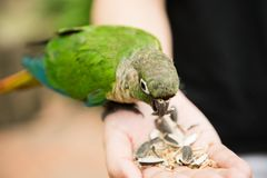 Zielone electus papugi Zdjęcia Royalty Free